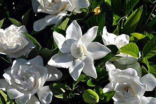"1 Summer Snow Gardenia Hardy to 0 Degrees Very Fragrant - 4"" Pot"