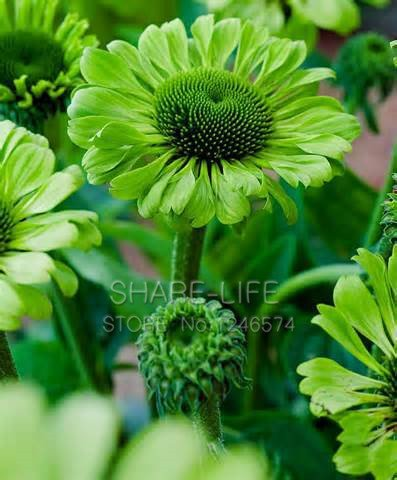 30 Seeds Green Jewel Echinacea Flower Seeds Coneflower Bonsai Seeds DIY #32630169025ST