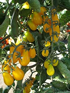 Tomato 'Yellow Plum' Heirloom Very Sweet Rich Tomato Flavor 40+ Seeds