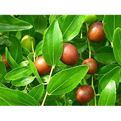 Chinese Date, Ziziphus jujube, Tree Seeds (5 Seeds) : Garden & Outdoor