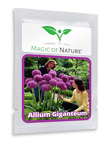 Giant Onion - 30 Seeds Giant Allium giganteum/Garden Plant/Beautiful Flower