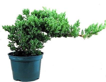 Japanese Juniper Bonsai Starter Tree 4 Pot Juniperus Procumbens Nana Amazon Com Grocery Gourmet Food