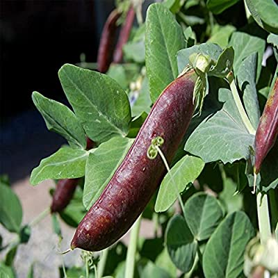 Blue Shelling Pea Garden Seeds - Non-GMO, Heirloom, Organic Vegetable Gardening Seeds
