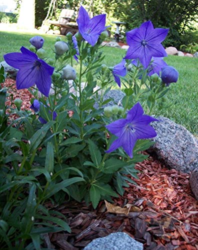 Yunakesa Balloon Flower Seeds - Blue, Chinese Bell Flower or Japanese Bell Flower,Grown in China, Korea, Japan and East Siberia for Medicinal Purpose (100 - Bell Chinese Flower