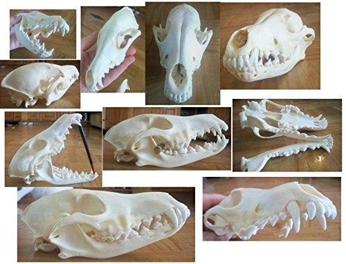 Innoverse Real Bone Coyote Raccoon Muskrat Mink Skunk Skull Taxidermy Bone (All 5 Skulls Combo)