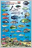 """Egyptian Red Sea Reef Creatures Guide Franko Maps Laminated Fish Card 4"""" x 6"""""""