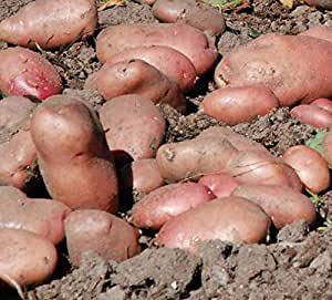 """Sycamore Trading semillas sarpo axona X 20Tubérculos. La cremoso blanco carne tiene un cerosa Textura y el sabor ha sido descrito por algunos como """"Superb."""""""
