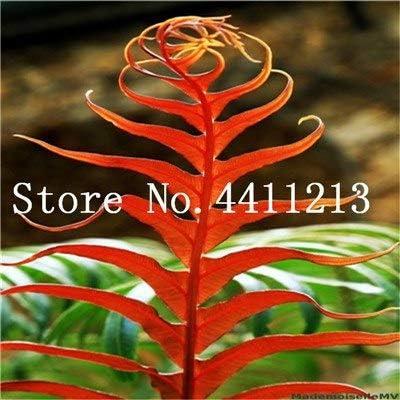 Bloom Green Co. Bonsai 100 Unids Raras Bonsai Colores Mezclados Helecho Plantas de Hierbas Perennes Bonsai Maceta Planta de Interior Para Huerto Fácil Crecer: 14