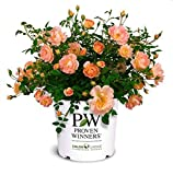 Proven Winners - Rosa OSO Easy Peachy Cream (Rose) Rose, Peach Flowers, 2 - Size Container
