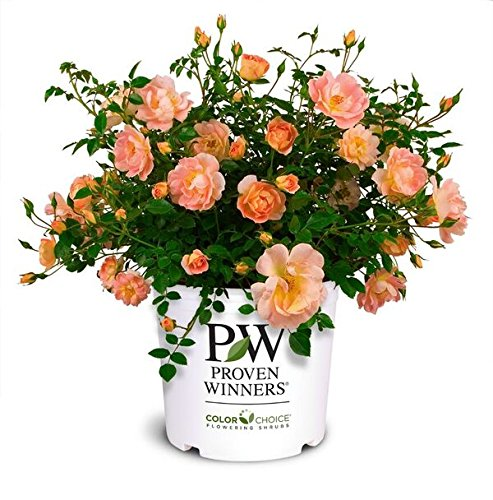 Proven Winners - Rosa OSO Easy Peachy Cream (Rose) Rose, Peach Flowers, 2 - Size Container by Green Promise Farms