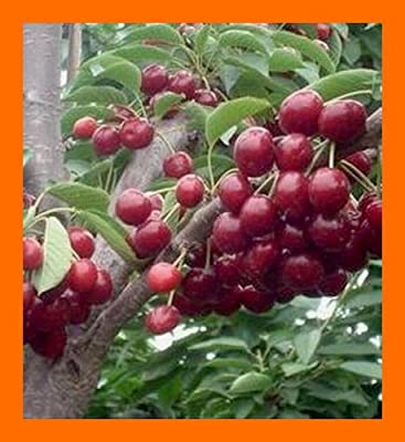 US West Wild Sweet Black Cherry Tree -- 50+ Seeds
