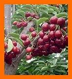 US West Wild Sweet Black Cherry Tree -- 50+ Seeds
