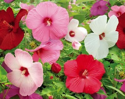 how to grow perennial hibiscus from seed