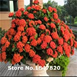 2015 Rare Ixora Seeds, 10 kinds 500 Mix Colors Flower Seeds, High survival Rate for Home and Garden.