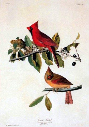 Grosbeak Audubon Bird - 3