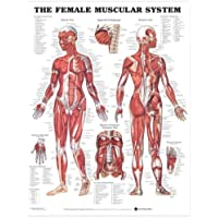 Sistema muscular femenino