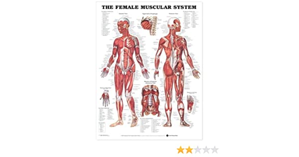 Amazon The Female Muscular System Anatomical Chart Anatomical