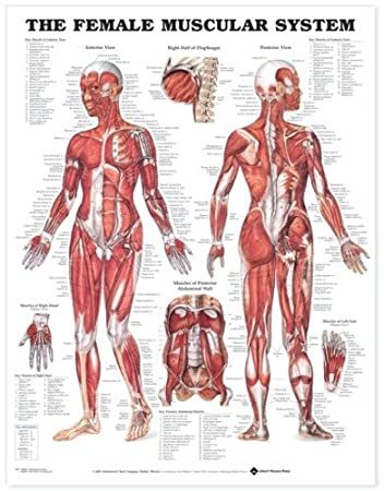 Amazon com the female muscular system anatomical chart