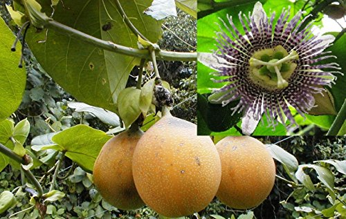 1000-100+ Passiflora ligularis Seed World's Best Tasting Passion Fruit Very Sweet!