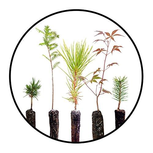 Bonsai Tree Bundle | Collection of 5 Live Tree Seedlings | The Jonsteen Company by The Jonsteen Company
