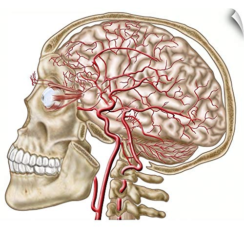 CANVAS ON DEMAND Anatomy of Human Skull, Eyeball and Arteries to Brain Wall Peel Art Print, - Bone Occipital Skull