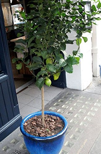 Key Lime Tree - Get Fruit in 1 year with large citrus lime trees