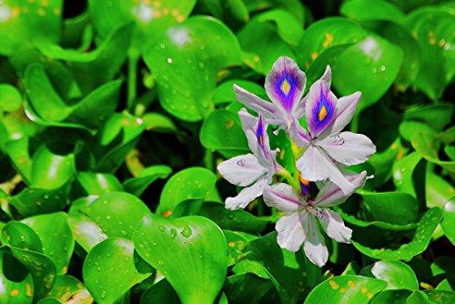 3 XXL Wasserhyazinthe Schwimmpflanze für Gartenteich