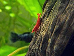 20 Live Sakura Fire Red Cherry Shrimp (Neocaridina davidi) - Breeding Age Young Adults at 1/2 to 1 Inch Long by Aquatic Arts