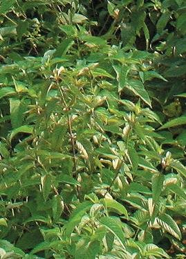 Virginia Mountain Mint (Pycnanthemum virginianum), 2000 Certified Pure Live Seed, True Native Seed