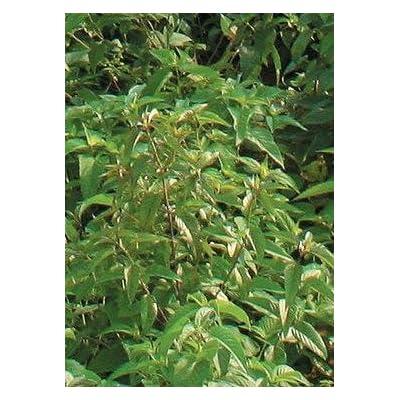 Virginia Mountain Mint (Pycnanthemum virginianum), Seed Packet, True Native Seed : Herb Plants : Garden & Outdoor