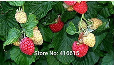 KCmart BrazelBerries Raspberry Shortcake Seeds Home Garden Fruit Bonsai Seeds High Quality Delicious Berry Seeds Semillas Bonsai