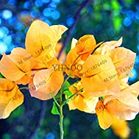 Sump Fresh 105 piezas de semillas de flores de buganvilla para plantar amarillo