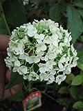 アナベルアジサイ 鉢植え  贈り物や プレゼントに アナベルの 純白のアジサイを