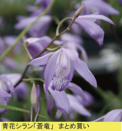 【株のみ販売】JJPRO-HOME 蘭 ミニカトレア 3種盛り B01D3YE8PC
