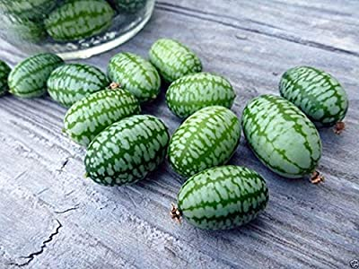 VISTARIC 100 Mexican Sour Gherkin Cucumber, Seeds ! Looks Like Miniature Watermelons