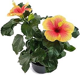 die Hawaiblume mit gelben Hibiskus Yellow Red Eye farbenfrohen Bl/üten Balkon oder Terrasse eine absolute Augenweide der Rosen-Eibich ist als Pflanze f/ür die Wohnung Fangblatt