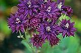 Clementine Dark Purple Columbine Perennial Plant - Aquilegia - Quart Pot