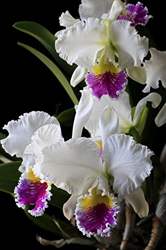 Large Cattleya Orchid - 5