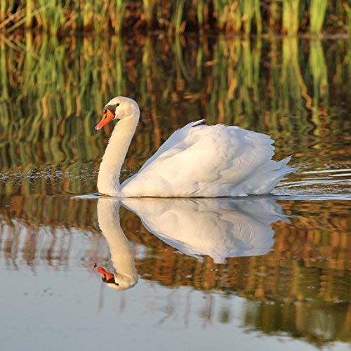 White Swan Photograph - Nature Photography - Bird Print -''Swan Reflections'' - Cute Animal Photo - Nursery Wall Art by New Leaf Photography (Image #1)