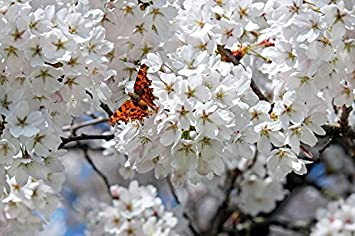 Amazon laminated poster japanese cherry trees flower tree white laminated poster japanese cherry trees flower tree white flowers poster print 24 x 36 mightylinksfo