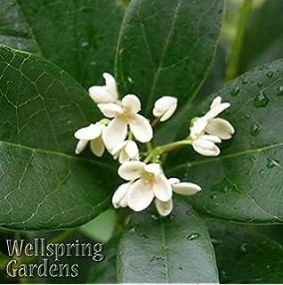 Amazon 3 gallon sweet tea olive osmanthus evergreen shrub tea olive osmanthus fragrans live plant tree fragrant perfume mightylinksfo