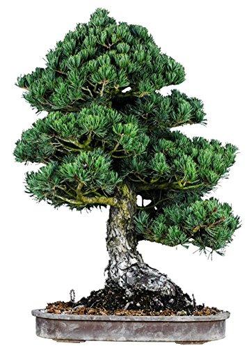 Pine White Tree Bonsai (Japanese White Pine Bonsai Tree Zuishou 20-year 29.6'H)