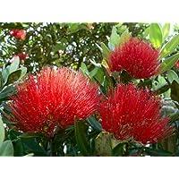 ÁRBOL DE NAVIDAD nueva zelanda, flor roja, 575 SEMILLAS