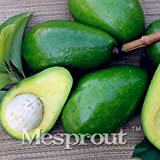 New Rare Green Avocado 10+ Seeds