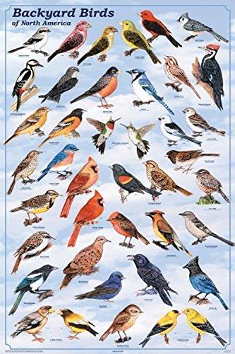 Laminated Backyard Birds Print Poster 24x36