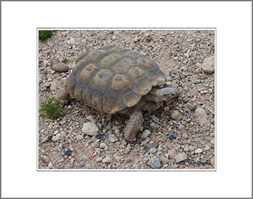 (8x10 Photo Print with White Matting, Signed (fits 11x14 Picture Frame) – Southwestern US Series Desert Tortoise Red Rock, Nevada)