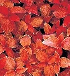 "50+ COLEUS ""WIZARD SUNSET"" SHADE LOVING FLOWER SEEDS / ANNUAL /GREAT GIFT"