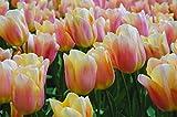 Burpee's Apricot Beauty Tulip - 10 Flower Bulbs | Apricot | 12 - 14cm Diameter