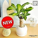 LAND PLANTS 幸福の樹 ドラセナ・マッサン 白色丸型陶器