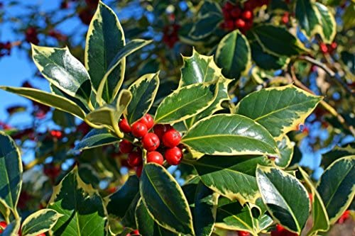 Ilex aquifolium 25-35cm in P9 Pots 10 Common Holly Hedging Evergreen Plants